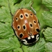 Eyed Ladybird Beetle - Photo (c) S. Rae, some rights reserved (CC BY)