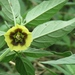 Physalis longifolia - Photo (c) Laura Clark, μερικά δικαιώματα διατηρούνται (CC BY)