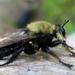 Laphria virginica - Photo (c) Paul Bedell, μερικά δικαιώματα διατηρούνται (CC BY-NC-SA)