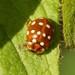 Calvia quatuordecimguttata - Photo (c) Sandy Rae, μερικά δικαιώματα διατηρούνται (CC BY-SA)