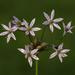 Allium canadense - Photo (c) aarongunnar, algunos derechos reservados (CC BY)