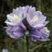 Dipterostemon capitatus capitatus - Photo (c) Mike Baird, algunos derechos reservados (CC BY)