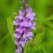 Verbenaceae - Photo (c) thesnaguy, μερικά δικαιώματα διατηρούνται (CC BY-NC-SA)