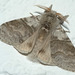 Pale Tussock Moth - Photo (c) anonymous, some rights reserved (CC BY-SA)