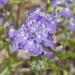 Collinsia concolor - Photo (c) Bill Bouton, algunos derechos reservados (CC BY-NC-ND)