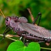 Taeniopoda reticulata - Photo (c) Bernard DUPONT,  זכויות יוצרים חלקיות (CC BY-NC-SA)