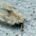 Psychoda surcoufi - Photo (c) Martin Cooper, algunos derechos reservados (CC BY)