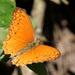 Lachnoptera anticlia - Photo (c) אנונימי,  זכויות יוצרים חלקיות (CC BY-SA)