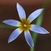 Romulea - Photo (c) Philip Bouchard,  זכויות יוצרים חלקיות (CC BY-NC-ND)