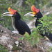 Hornbills - Photo (c) Tan Kok Hui, some rights reserved (CC BY-NC)