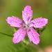 Dianthus armeria - Photo (c) Jenn Forman Orth, algunos derechos reservados (CC BY-NC-SA)