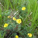 Shrubby Cinquefoil - Photo (c) mfeaver, some rights reserved (CC BY)