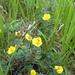 Dasiphora fruticosa - Photo (c) mfeaver,  זכויות יוצרים חלקיות (CC BY)