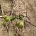 Solanum corneliomulleri - Photo (c) cstobie, algunos derechos reservados (CC BY-NC)