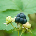 European Dewberry - Photo (c) Jordi Roy Gabarra, some rights reserved (CC BY-NC)