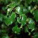 Prunus ilicifolia ilicifolia - Photo (c) Bri Weldon, algunos derechos reservados (CC BY)