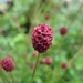 Great Burnet - Photo (c) Shihmei Barger 舒詩玫, some rights reserved (CC BY-NC-ND)