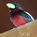 Black-and-red Broadbill - Photo (c) Tan Kok Hui, some rights reserved (CC BY-NC)