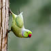 Rose-ringed Parakeet - Photo (c) mousamr, some rights reserved (CC BY-NC), uploaded by Mousam Ray