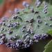 Physarum cinereum - Photo (c) Rob Curtis, algunos derechos reservados (CC BY-NC-SA)