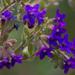 Anchusa officinalis - Photo (c) Stas & Lana, algunos derechos reservados (CC BY-NC)
