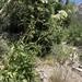 Angelica scabrida - Photo (c) lonnyholmes, μερικά δικαιώματα διατηρούνται (CC BY-NC)