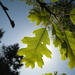 California Black Oak - Photo (c) josh jackson, some rights reserved (CC BY)