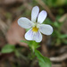 American Field Pansy - Photo (c) Djlayton4, some rights reserved (CC BY-SA)