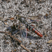 Miltinus stenogaster - Photo (c) Felix Fleck, algunos derechos reservados (CC BY-NC)