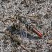 Miltinus stenogaster - Photo (c) Felix Fleck, μερικά δικαιώματα διατηρούνται (CC BY-NC)