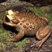 Bullock's Mountains False Toad - Photo (c) Coedilleradenahuelbuta, some rights reserved (CC BY-SA)