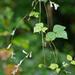 Amphicarpaea bracteata - Photo (c) Suzanne Cadwell, algunos derechos reservados (CC BY-NC)