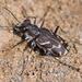 Cicindela tranquebarica tranquebarica - Photo (c) Denis Doucet, algunos derechos reservados (CC BY-NC)