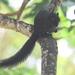 Callosciurus prevostii pluto - Photo (c) Tan Kok Hui, algunos derechos reservados (CC BY-NC)