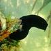 Phallusia nigra - Photo (c) Kent Miller,  זכויות יוצרים חלקיות (CC BY-ND)