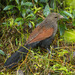 Madagascar Coucal - Photo (c) Francesco Veronesi, some rights reserved (CC BY-SA)