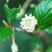 Cercocarpus minutiflorus - Photo (c) 2012 Gary A. Monroe, μερικά δικαιώματα διατηρούνται (CC BY-NC)