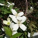 Himalayan Clematis - Photo (c) Hidy Tsang, some rights reserved (CC BY-NC)