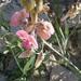 Lathyrus heterophyllus - Photo (c) Meneerke bloem,  זכויות יוצרים חלקיות (CC BY-SA)