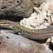 Podarcis siculus cettii - Photo (c) David Kaposi, μερικά δικαιώματα διατηρούνται (CC BY-NC)