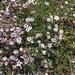 Gypsophila repens - Photo (c) Muriel Bendel, algunos derechos reservados (CC BY-NC)