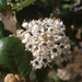 Hoaryleaf Ceanothus - Photo (c) The Marmot, some rights reserved (CC BY)