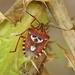 Codophila varia - Photo (c) Kostas Zontanos, some rights reserved (CC BY-NC)