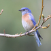 Western Bluebird - Photo (c) Jamie Chavez, some rights reserved (CC BY-NC)
