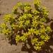 Eriophyllum multicaule - Photo (c) randomtruth, algunos derechos reservados (CC BY-NC-SA)