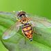 Toxomerus marginatus - Photo (c) Denis Doucet, μερικά δικαιώματα διατηρούνται (CC BY-NC)