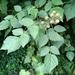 Rubus parviaraliifolius - Photo (c) Kuan-Chieh (Chuck) Hung, osa oikeuksista pidätetään (CC BY-NC)
