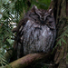 Whiskered Screech-Owl - Photo (c) Kathy & sam, some rights reserved (CC BY)