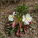 Fragrant Evening Primrose - Photo (c) Tony Frates, some rights reserved (CC BY-NC-SA)