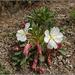 Oenothera cespitosa - Photo (c) Tony Frates, algunos derechos reservados (CC BY-NC-SA)
